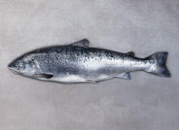 Frischer Lachs